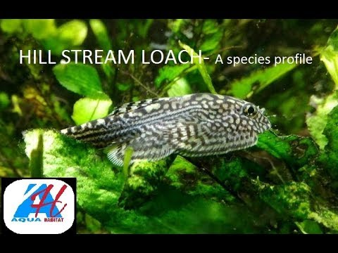 CHINESE HILL STREAM LOACH - Species Profile