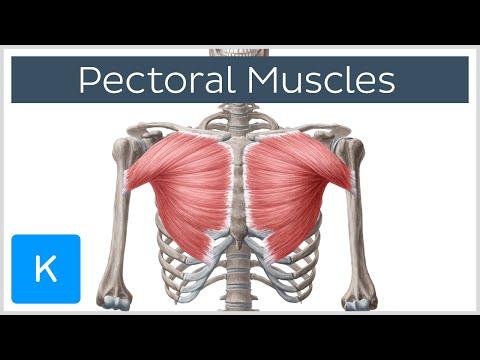Pectoral Muscles - Area, Anatomy & Function - Human Anatomy  Kenhub