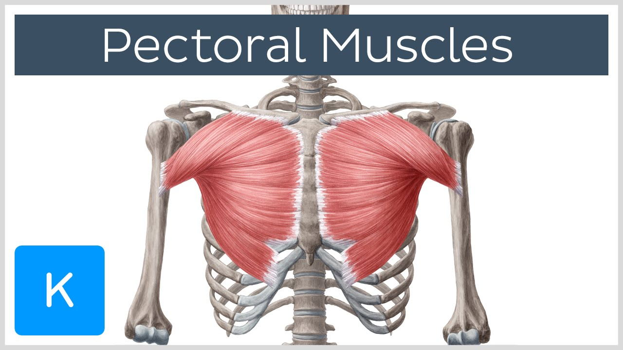 pectoral muscles - area, anatomy & function - human anatomy, Human Body