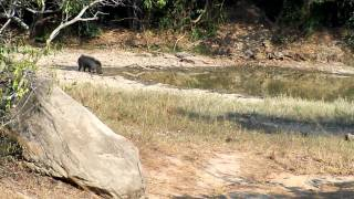 Wild Boar in Sathyamangalam Forests