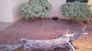 rattlesnake eating rabbit green valley az 06162016