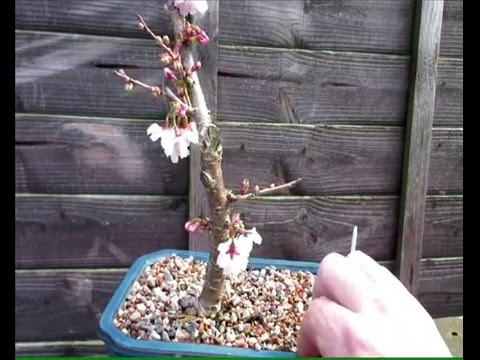 Japanese Flowering Cherry Pre Bonsai