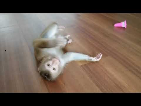 Monkey Baby Nui | Nui knows how to spin and drink water with a straw