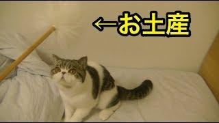 巨大な耳かき?に困惑気味のエキゾチックショートヘアー...。【猫】【かわいい】 thumbnail