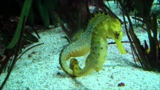 El cortejo de los caballitos de mar en Faunia