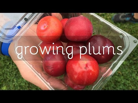 Growing Plums