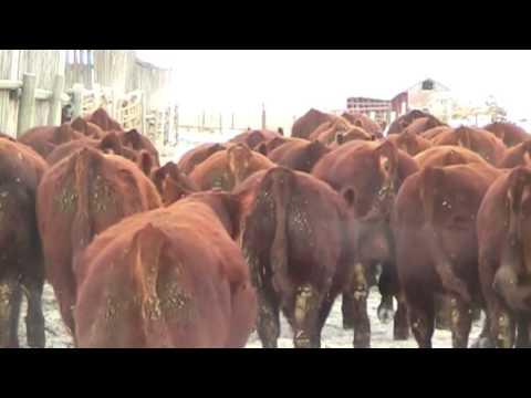 2016 Hill 70 Quantock Bull Sales Video