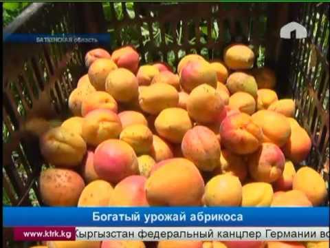 Узбекский урюк (абрикос). Курага. Полезные свойства абрикоса
