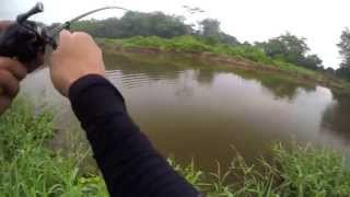 Hunting Giant Snakeheads (Singapore)