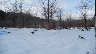 狩りは一切訓練していませんが、猟犬の本能なんですね。 追われている方...