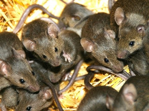 Homemade Mice Repellent