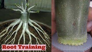 Adenium Root Training Method for bonsai