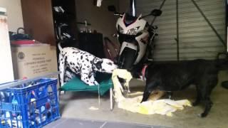 Dogs Rip Towel Apart