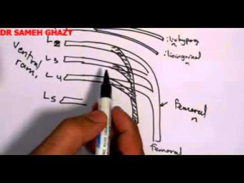 lumbar plexus by dr sameh ghazy