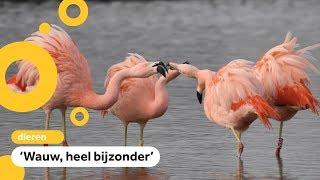 Flamingo's gespot in polder bij Pijnacker