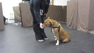 Counter conditioning at Cranky Canine class Nov 2013. The Toronto Centre for Canine Education.