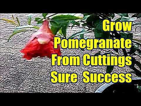 Growing Pomegranate From Cutting : Pomegranate  Propagation
