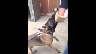 Malinois Bite Work \ Tulsa Oklahoma \ Dog Training