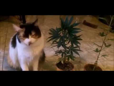 What Happens If Your Cat Eats Weed