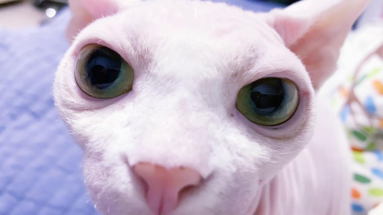 목욕해서 나 화났다옹!!😭😘[스핑크스고양이,털없는고양이