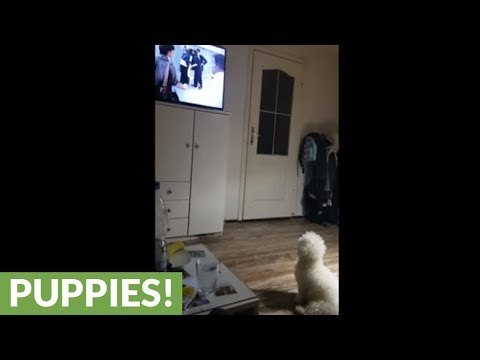 TV-loving dog sits down for movie time
