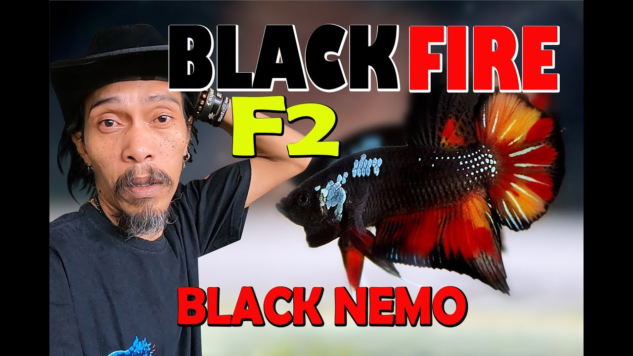 Black Fire F2 Ikan Cupang Youtube