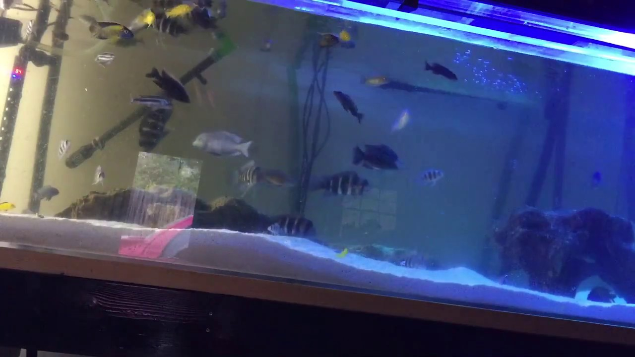 300 gallon acrylic fish tank african cichlids feeding for Acrylic vs glass fish tank