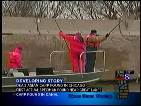Bighead Asian carp found in Chicago