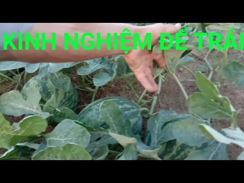 Kỷ thuật trồng dưa hấu,kinh nghiệm cách chọn trái, bấm ngọn, để hiệu quả kinh tế cao nhất, NDTV,