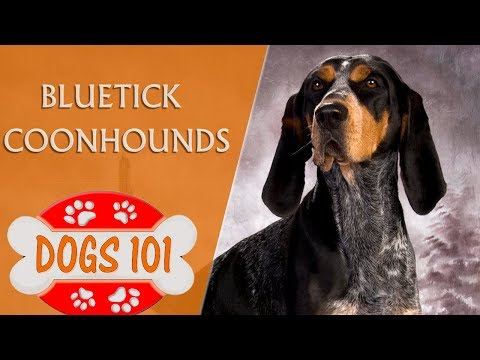 Dogs 101 - Bluetick Coonhounds - Top Dog Facts About the Bluetick Coonhounds