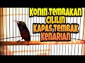 Kolibri Ninja Tembakan Cililin Vs Kapas Tembak Vs Kenarian  Mp3 - Mp4 Download