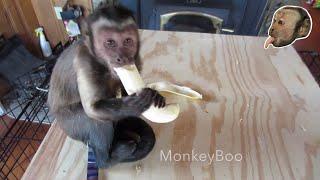 capuchin monkey kills a banana