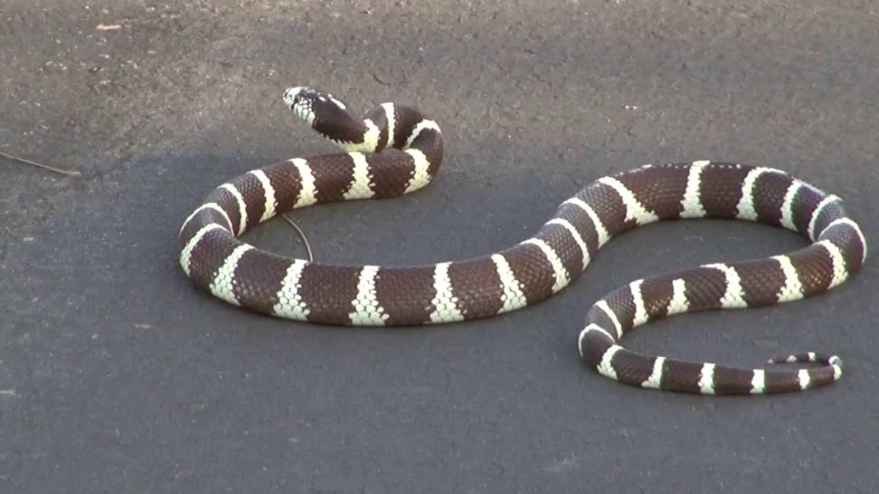 Bird Vs Snake California King Snake Harassed By Blue Jay