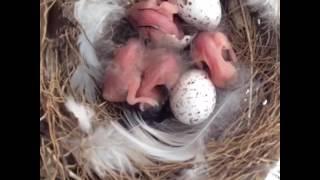 2016年5/10我が家で産まれたツバメの雛ちゃん達☆ 卵はあと2個あります.