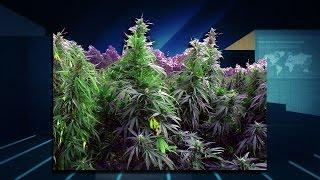 Marijuana Minute Sept 8, 2015: Los Angeles Cannabis Entrepreneurs Convention, Monsanto's GMO Weed?