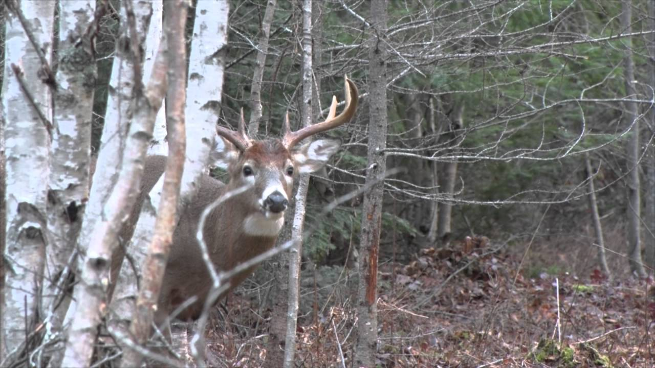 Nova Scotia Management Buck Crossbow Hunt
