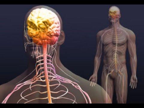 Нервная система: 10 заблуждений и мифов