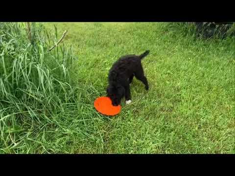 PuppyFinder.com : Portuguese Water Dog Puppies