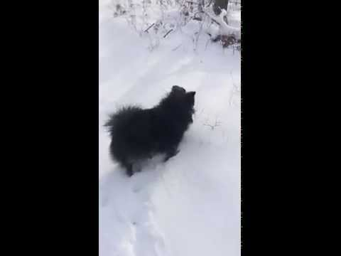 Playing in the Snow (German Spitz Mittel)