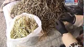 В Ингушетии неофициально открылся сезон сбора медвежьего лука