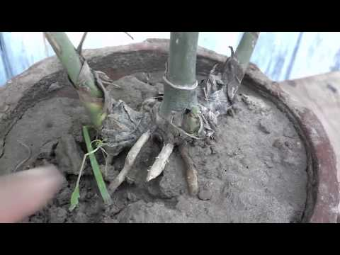 Indoor Plants For Clean Air | How To Grow A Palm Tree | Bamboo Palm Plant Care Part-1 (Urdu/Hindi)