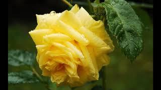 Las ROSAS más LINDAS del mundo para Maria Rosa Avila   Dj kikito