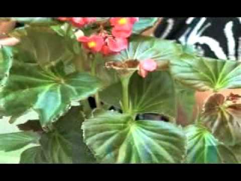 Begonia tuberose reproduccion asexual