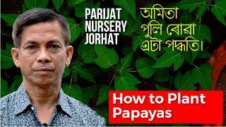 অমিতা পুলি ৰোৱা এটা পদ্ধতি | Papaya Plantation Guide Tips | Parijat Nursery Jorhat