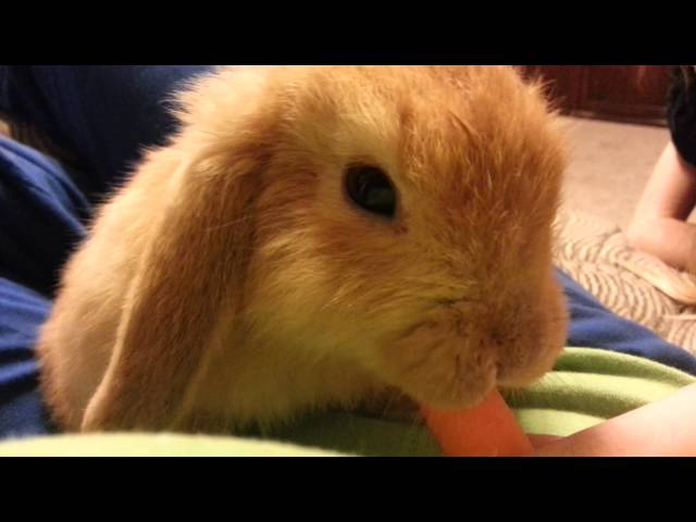 Ginger the Bunny