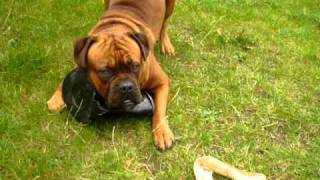 Bullmastiff X Dogue De Bordeaux At 12 Months, Showing Pot Who's Boss.