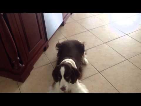 Springer Spaniel Barking