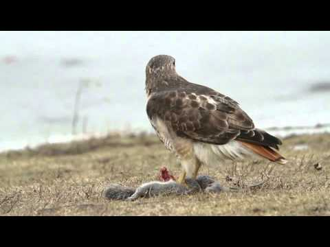 Squirrel provides energy for hawk in Hudson