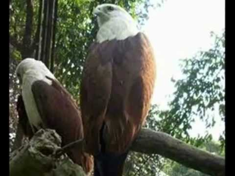 Birds in Indonesia ( Burung asli Indonesia)