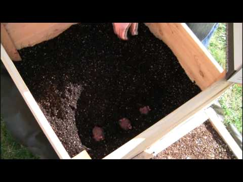 Planting Our Potatoes In Our Potato Box